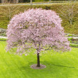 Single Cherry Tree in Green Yard — Stockfoto