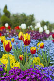 Red and Yellow Tulips in Garden of Flowers — Stock Photo
