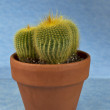 Seasonal Cactus for Indoor Home Use - Stock Photo