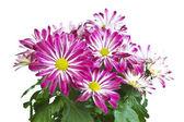 Růžový sedmikrásky — Stock fotografie
