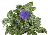 Liten lila blomma i marktäckande — Stockfoto