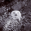 Stock Photo: Snowy Owl