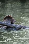 Playing Bear — Stock Photo