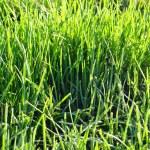 Close up of grass — Stock Photo