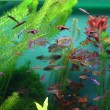 poissons en aquarium — Photo
