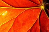 Red leaf — Stock fotografie