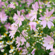 Pink spring flowers — Stock Photo #10118725
