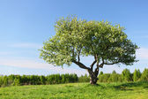 Alone tree — Stockfoto
