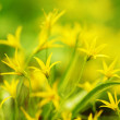 Yellow spring flowers — Stock Photo #10241975