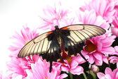 Papilio Lovii — Stock Photo