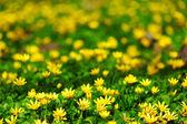 Fleurs printanières jaune — Photo