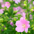 Pink spring flowers — Stock Photo #10459501
