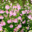 Pink spring flowers — Stock Photo #10459503