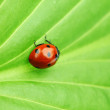 Coccinelle sur feuille — Photo