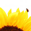 Ladybug on sunflower — Stock Photo #10476601