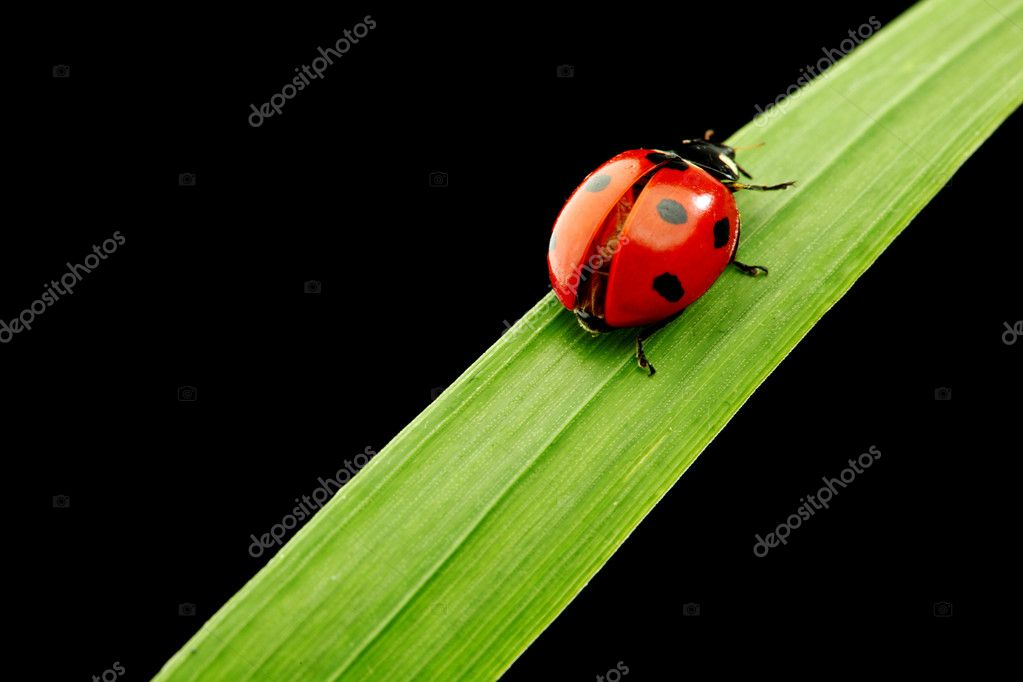 Ladybug on grass isolated black background  Stock Photo #10476422