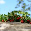 Cowberry — Stock Photo #10524496