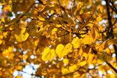 Golden leaves — Foto Stock