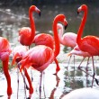Flamingo — Stock Photo #10562018