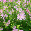 Pink spring flowers — Stock Photo #10617292