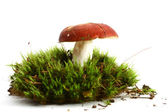 Isolated mushroom — Stock fotografie