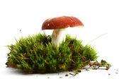 Isolated mushroom — Stock Photo