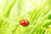 Nyckelpiga på gräs — Stockfoto