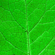 Royalty-Free Stock Photo: Green leaf