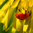Ladybug on dandelion — Stock Photo