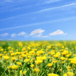 Dandelion green field - Stock Photo