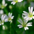 White spring flowers — Stock Photo