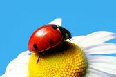 Yaz uğur böceği — Stok fotoğraf