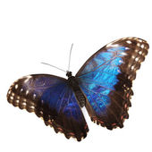 Blue morpho isolated — Stock Photo
