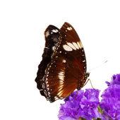 Hypolimnas bolina — Zdjęcie stockowe
