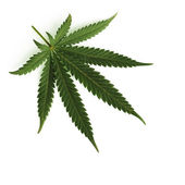 Cannabis leaf — Stock Photo