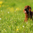 Dog on green grass field — Stock Photo #8515777