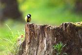 Americký ptáček sedí na pařez — Stock fotografie