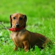 Stock Photo: Dachshund on grass