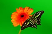 Graphium on orange gerber — Stock Photo