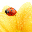 Ladybug on yellow flower — Stock Photo