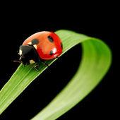 Ladybug isolated on black — Stock Photo