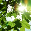Green leaves — Stock Photo #8926017