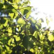 Green leaves — Stock Photo #8926023