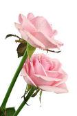 Pink rose — Foto Stock