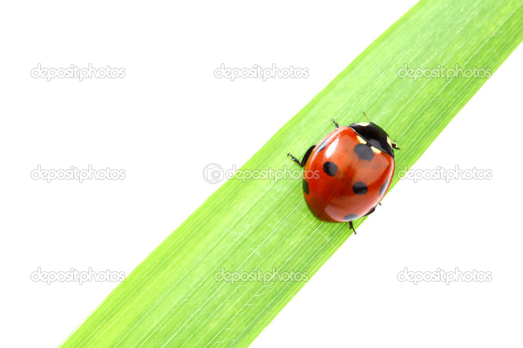 Ladybug on green grass isolated white background — Stock Photo #8941439