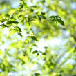 Green leaves — Stock Photo #8974879