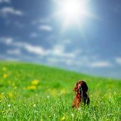 Chien sur le champ de l'herbe verte — Photo