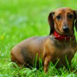 Royalty-Free Stock Photo: Dachshund on grass