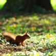 Squirrel in the autumn forest — ストック写真