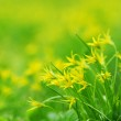 Yellow spring flowers — Stock Photo #9148243